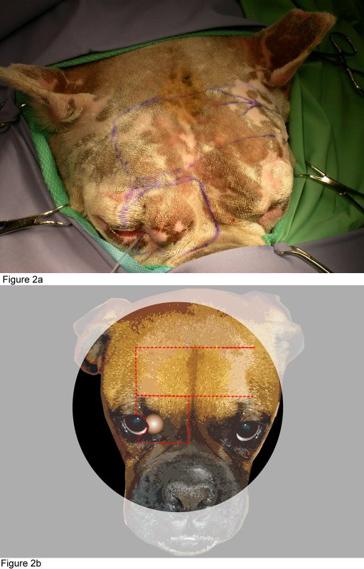Case Report Susan Jacobi, Dr.med.vet., MS, DACVO: axial pattern flap